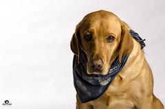 Cooper (Huffy1166) Tags: dog yellow lab labrador retriever