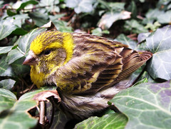 Girlitz / Serin (Habub3) Tags: park wood travel holiday plant cute green bird nature beautiful leaves fauna forest canon germany garden deutschland reisen flora europa europe urlaub natur pflanze grn lovely wald fink garten vacanze vogel 2012 g12 serin serinus feathering girlitz habub3 mygearandme