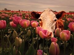 cows play peekaboo (Janine Graf) Tags: cameraphone silly cow tulips peekaboo tulipfarm juxtaposer janine1968 iphone4s scratchcam janinegraf snapseed