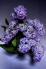 Lilac (Flint-Hill) Tags: iso100 sigma lilac f11 30mm syringa oleaceae ledlighting 08sec backdated1year s03561 sameasjasmine