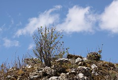 Trois petits nuages ... (Larch) Tags: sky cloud plant france stone plante spring niceshot ciel nuage 74 printemps soe sprout springtime sprouting hautesavoie elderberry pousse sureau cailou oltusfotos mygearandme ringexcellence blinkagain flickrstruereflection1 rememberthatmomentlevel1