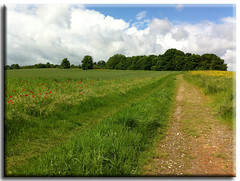 bright summer days (Linda Cronin) Tags: trees summer sky sun green field clouds kent track path wheat poppies lullingstone friendlychallenges