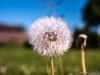 Pusteblume / Blowball 08.05.2012