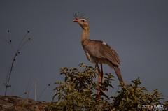 Siriema na Serra da Babilônia - MG (rtyokoi) Tags: brazil minasgerais birds brasil nikon minas aves mg canastra siriema d90 serradacanastra serradababilônia morrodocarvão nikonafs55300mm