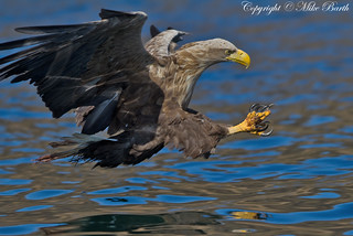 White-tailed Sea Eagle (Haliaeetus albicilla )