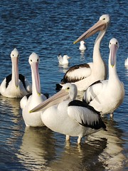 Family Portrait (Dozzam:)) Tags: seagulls pelicans nature water birds animals victoria percy gippsland beaks lakesentrance