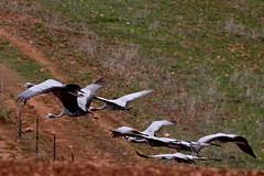 Blue Crane, anthropoides paradiseus, Bloukraanvoel (Peet van Schalkwyk) Tags: africa birds southafrica crane wildlife bluecrane grusparadisea anthropoidesparadiseus bloukraanvoel
