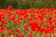Nacidas libres (Jorecon) Tags: espaa paisajes flores sevilla paisaje andalucia lugares vegetacin valles amapolas regiones cazalladelasierra pueblosse vallesierranorte