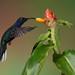 Violet Saberwing Hummingbird, Campylopterus hemileucurus