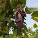 Il fiore di un banano