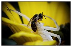 Battle (k0syak) Tags: flower macro yellow insect spider fight wasp battle m42 manualfocus closeupfilter tair11a135mmf28 screwmountm42 sonynex5