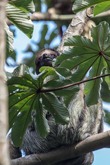 Three-toed Sloth, as seen in a Cecropia tree (mikebaird) Tags: costarica sloth tenorio threetoed cecropia 3toed mikebaird 03may2012