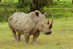 Male White Rhino (Sanjeed (NatureLover)) Tags: africa canon excellent jps naturelover eos450d ef70300is bdphtgrphrs naturephtgrphy officialnatgeo plsavenature highqltynature
