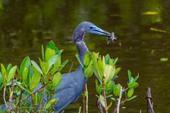 Little Blue Heron with Small Fish - Sanibel Island, FL (Paul Diming) Tags: bird heron birds us spring florida wildlife sanibel sanibelisland nationalwildliferefuge nwr littleblueheron jndingdarlingnationalwildliferefuge dingdarlingnationalwildliferefuge dingdarlingnwr d7000 pauldiming