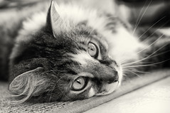 Spike takes a break (loco's photos) Tags: blackandwhite bw male coffee monochrome cat italian feline pentax tabby vogue spike kr toning mediumhair photovogue friendsofzeusphoebe silverefex2 da3524