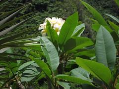Plumeria (Frangipani) (koukat) Tags: garden hawaii kauai princeville haena limahuli