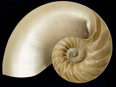 Nature's Logarithmic Spiral, the Nautilus Shell (DaveKav) Tags: nature spiral pattern shell math mathematics maths nautilus filey beachcombers logarithmic logarithm