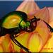 Eudicella Colmanti auf Blüte (5)