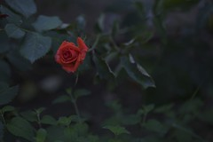 undecided (reinetor) Tags: street light flower macro rose closeup canon lens eos dof bokeh 5d damaged crease wrinkle f28 raindrop  mark2 shallowfocus ef100 alwaysthinkingaboutyou