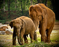 Happy Fathers Day !! (Kanishka **) Tags: life trip wild elephant grass animal animals canon fun zoo tour wildlife karnataka mysore samrat kanishka mysorezoo 550d kanishkasamrat