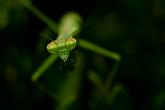 what evil lurks.... -Explored! (loco's photos) Tags: light macro green closeup bug insect flickr dof darkness pentax bokeh depthoffield explore kr prayingmantis panagor9028
