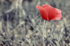 Papavero (Ricky92f) Tags: flowers red nature picture fiori papavero