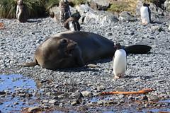 Fur Seal v Gentoo (Donna Hampshire) Tags: canon fur penguins gentoo south antarctica seal southgeorgia