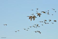 Le retour... 1 (anjoudiscus) Tags: bird nature flying wildlife ange goose qubec vol boucherville migration avril oiseau canadagoose brantacanadensis d800 retour oie 2014 bernache bernacheducanada nikkor28300mmvr