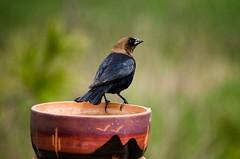 Male brown-headed cowbird (Pahz) Tags: bird animal wildlife feathers urbanwildlife cowbird brownheadedcowbird malecowbird