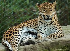 shrilankan panther Burgerszoo JN6A6737 (j.a.kok) Tags: leopard panther burgerszoo panter luipaard shrilankapanter shrilankanpanther