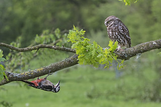 Little Owl (Athene noctua) and Great Spotted Woodpecker (Dendrocopos major)