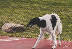Perfect Calm (Proper Photography) Tags: light dog pet pets silly love dogs nature goofy canon outside outdoors happy spring natural sigma content happiness naturallight canine joyful springtime borzoi 2016 petdog sigma70300 sigmalens russianwolfhound properphotography canoneos7d spring2016