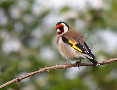 Goldfinch (Peanut1371) Tags: red brown white black bird yellow goldfinch finch gardenbird nationalgeographicwildlife