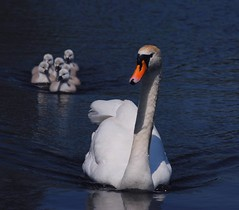 Swan and it's 6 Cygnets (mnika4) Tags: orange white black bird water animal swan pond stream beak cygnets seaton