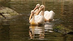 pink-backed pelicans (JoannaRB2009) Tags: pinkbackedpelican pelican zoo d lodz polska poland dzkiezoo nature birds spring water