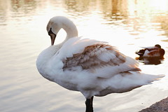 Swan (tom_t.photography) Tags: swan victoriapark widnes