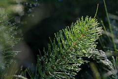 Guazza (lincerosso) Tags: primavera water drops acqua rugiada luce bellezza gocce splendore armonia equiseto codadicavallo equisetummaximum