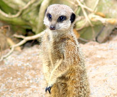 Meerkat in Lancaster (Tony Worrall Foto) Tags: county uk wild england cute animal fur meerkat furry stream tour open place northwest unitedkingdom country north ad visit location lancashire advert area lancaster stare beast northern update attraction lancs simples mearkat welovethenorth