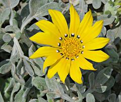 Gazania Pinwheel! ('cosmicgirl1960' NEW CANON CAMERA) Tags: flowers green nature yellow gardens spain parks espana gazania costadelsol andalusia puertobanus marbella yabbadabbadoo worldflowers
