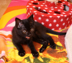 Gata Pucca (5) (adopcionesfelinasvalencia) Tags: gata pucca