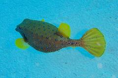 Underwater Fashion (fxdx) Tags: underwater fashion globefish blowfish puffer tetraodontidae el quseir diving scuba