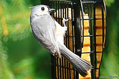 Tufted Titmouse (--Anne--) Tags: nature birds wildlife birdfeeder feeder titmouse suet tuftedtitmouse