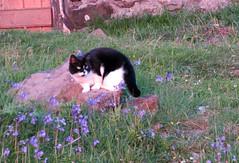 (Rodents rule) Tags: sunset flower cat scotland highlands bluebell campsite eigg eiggorganics