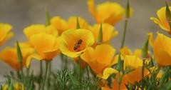 Honey Bee and California Poppy (Joe Son Nguyen) Tags: garden botanical san diego bee honey