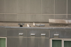 Glaucous-winged Gull (Larus glaucescens) (ekroc101) Tags: birds vancouver bc coalharbour glaucouswingedgull larusglaucescens