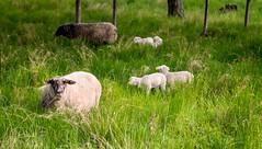 Sheep with their lambs (JohanKampe) Tags: summer green grass animal animals rock outside outdoors rocks warm sheep sweden sverige sten sommar motala fr djur grn stenar grs utomhus varmt
