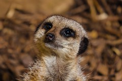 Cheeky face (Lee Harris Photography) Tags: cute nature animal animals photography photo meerkat funny character cheeky naturephotography meerkats naturelovers animalphotography fz1000