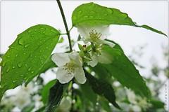 Rainy spring (nathaliedunaigre) Tags: flowers macro nature leaves rain fleurs drops spring details pluie rainy printemps feuilles proxy seringa pluvieux dtails gouttelettes