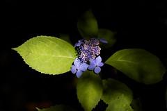 Hydrangea serrata 'kurohime' (Jim Mayes) Tags: macro digital canon eos tamron 90mm tamronspaf90mmf28dimacro