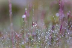 After the rain.... (nemi1968) Tags: canon canon5dmarkiii ef100mmf28lmacroisusm markiii norway aftertherain bokeh closeup droplet droplets field grass green macro nature purple raindrops water ngc npc